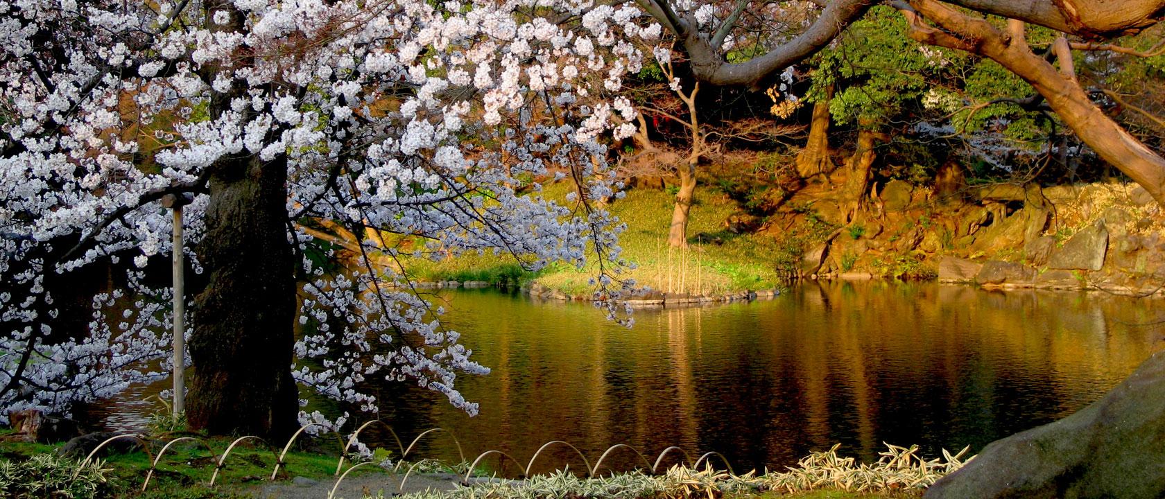 Japanese Garden Cherry Blossom Paintings - Home Design Ideas - http ...