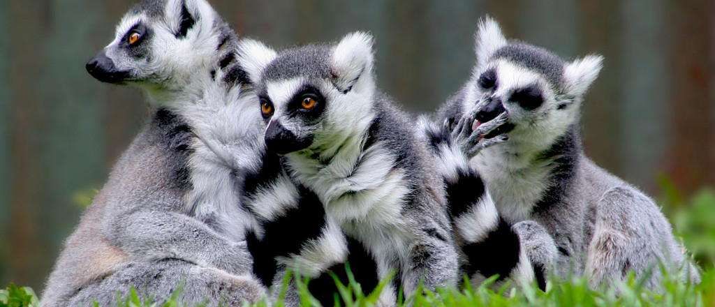 lemurs in madagascar assignment essay Example assignments the conservation of madagascar and its lemurs biology essay print reference this the lemurs due to madagascar's isolation.